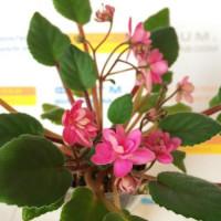 Фиалка Orchads Pink Chiffon