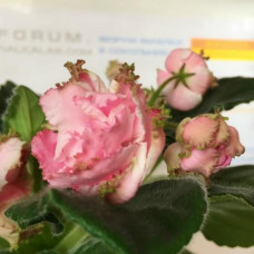 Фиалка Парнасская Роза